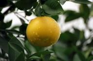 Грейпфруты, красные (Испания) BIO. 1 шт.